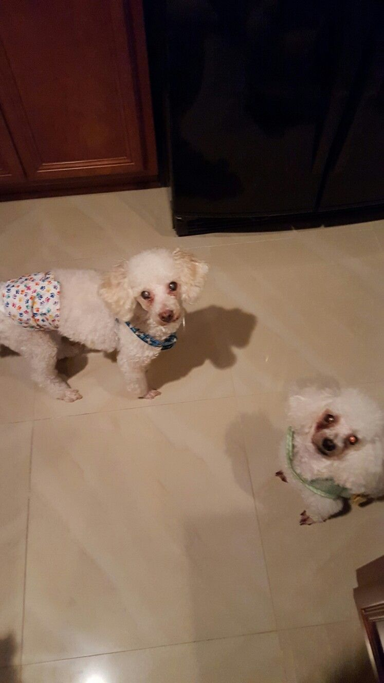Auggie And Chloe Visit Thanksgiving 2015 Poodle Rescue Rescue