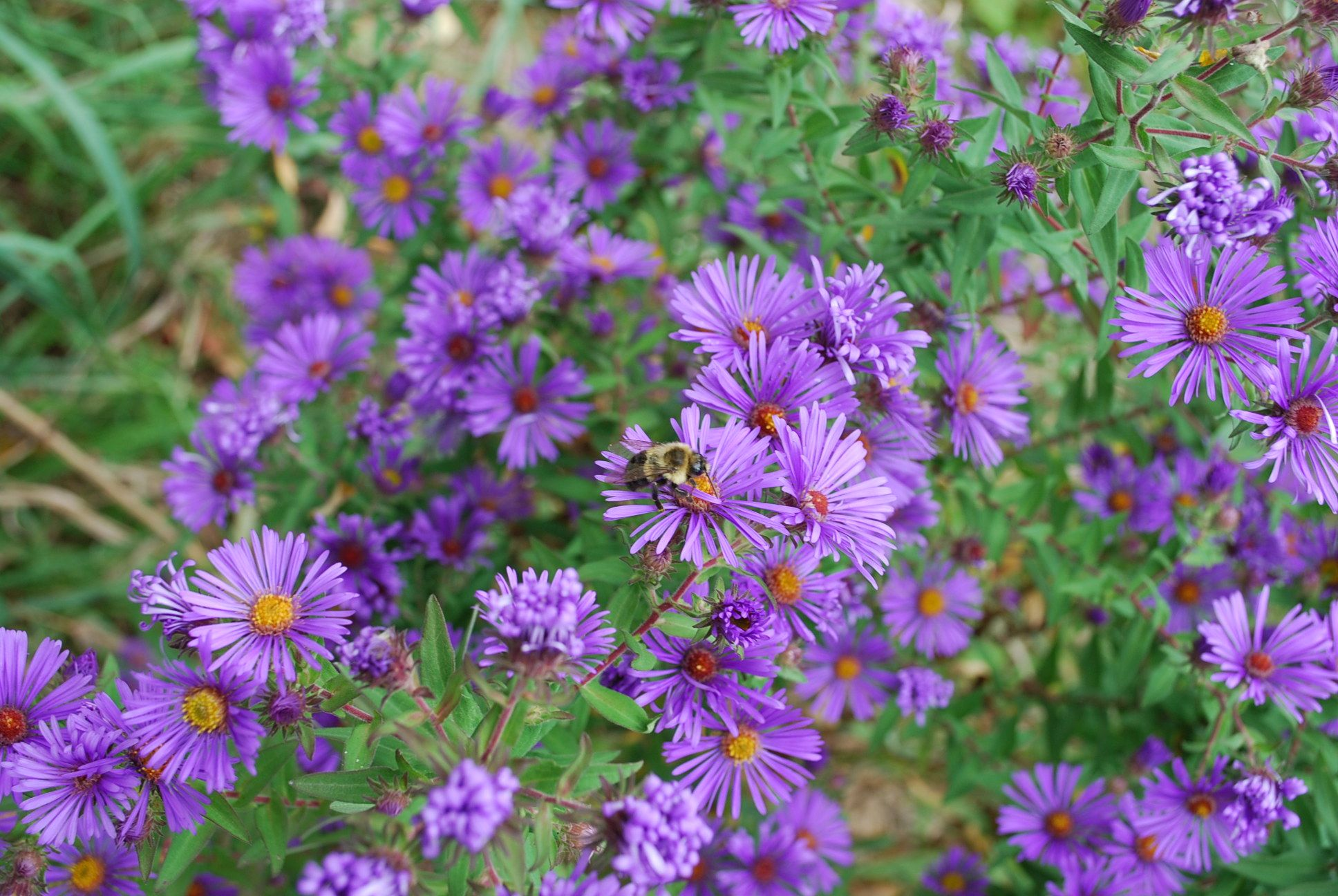 New England Aster Aster Novae Angliae Root Tea Was Used For Diarrhea And Fever Asters In General Were Used For Plant Combinations Plants Medicinal Herbs