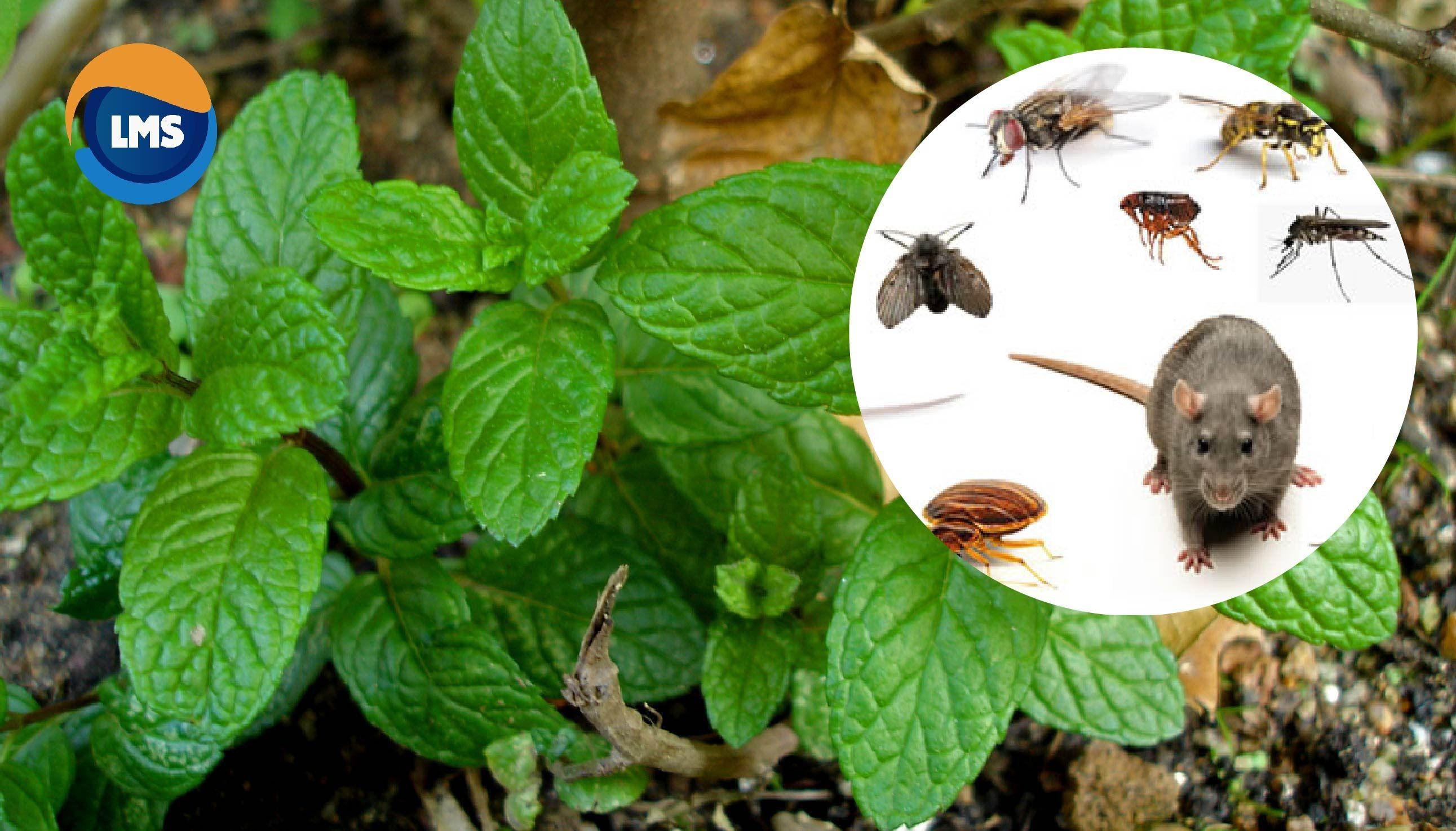 Si usted tiene esta planta en su casa nunca jam s ver ratones ara as y otros insectos otra - Como eliminar ratas en casa ...