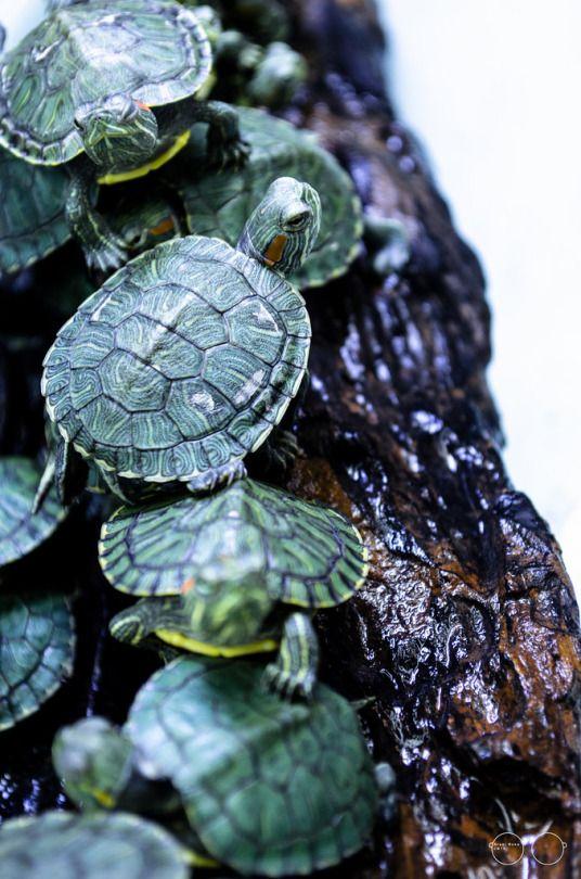 #turtles on a log by Potho Shwarothi