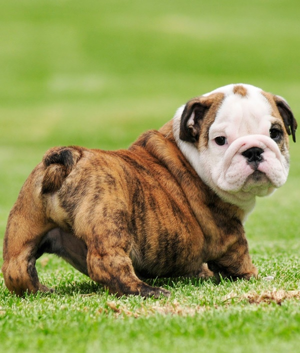 How Can Dog Tail Indicates Breed What Is Your Dog Tail