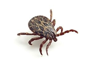 Tick infestations on the rise in Pocatello