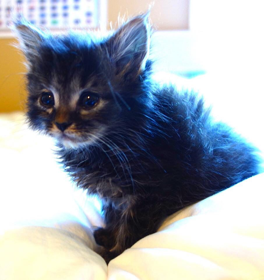 Anakin Is A 5 Week Old Long Hair Kitten Looking For His Forever Home He Has Been Hand Reared Since Before His Eyes Opened Long Haired Kittens Animals Kitten