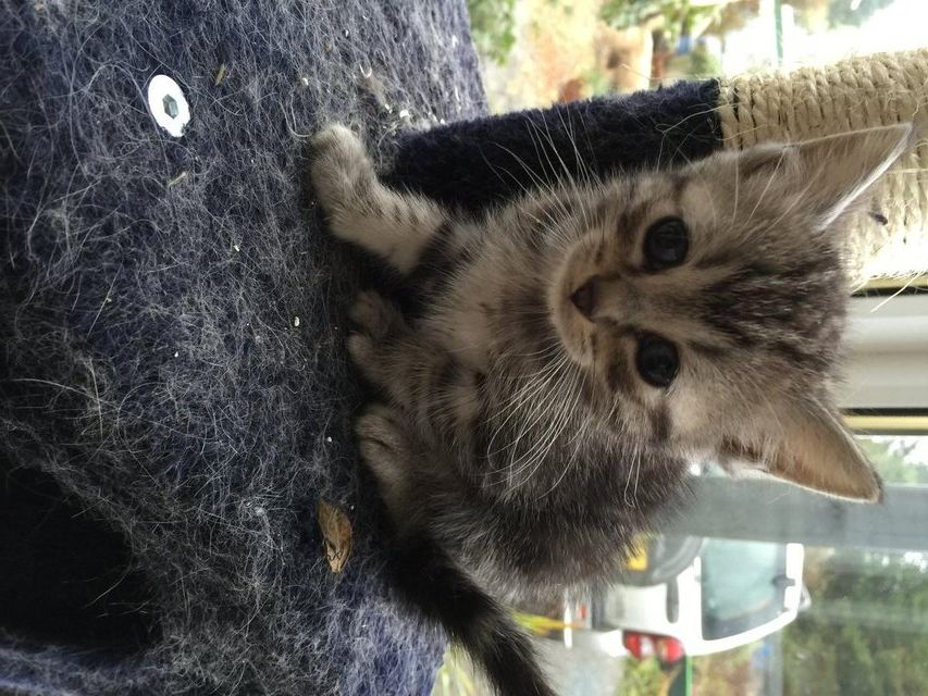 Ragdoll X Bengal Kittes For Sale In Nr Barrhill South Ayrshire