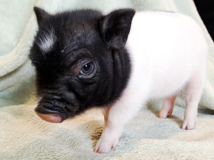 1000 Images About Piglets On Pinterest Baby Pigs Pigs