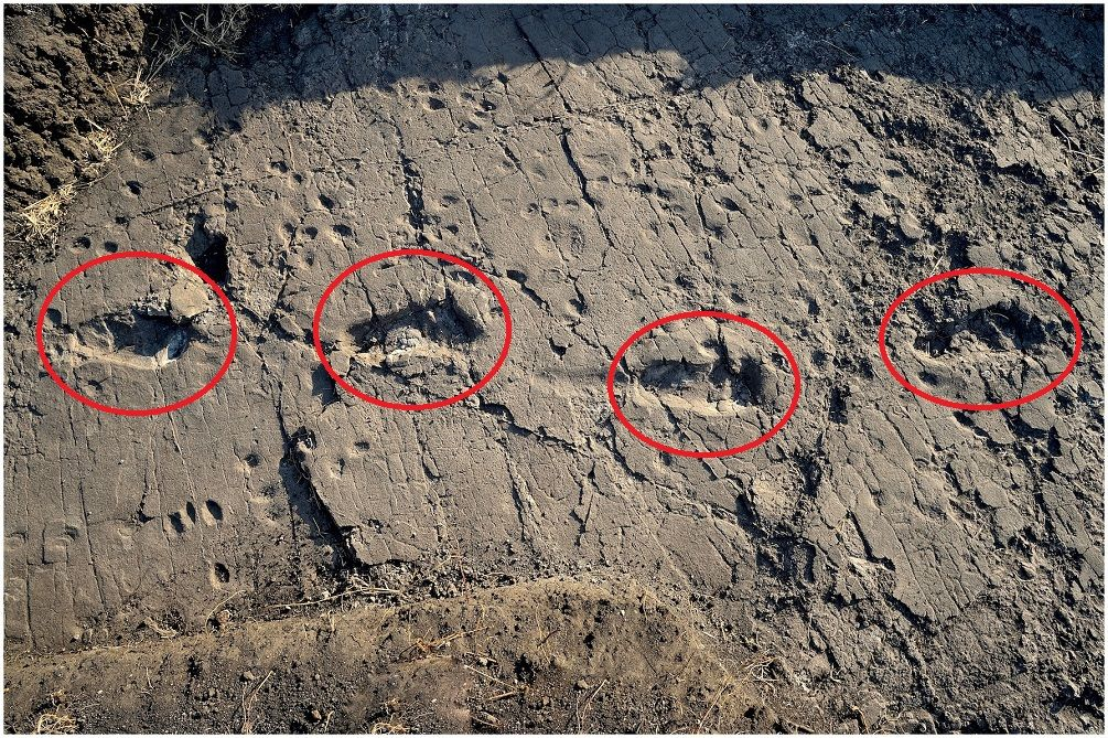 In 2016, experts uncovered 13 footprints which theybelieve date back more than 3.6 million years. The enigmatic footprints were discovered in modern-day Tanzania and were preserved for millions of…