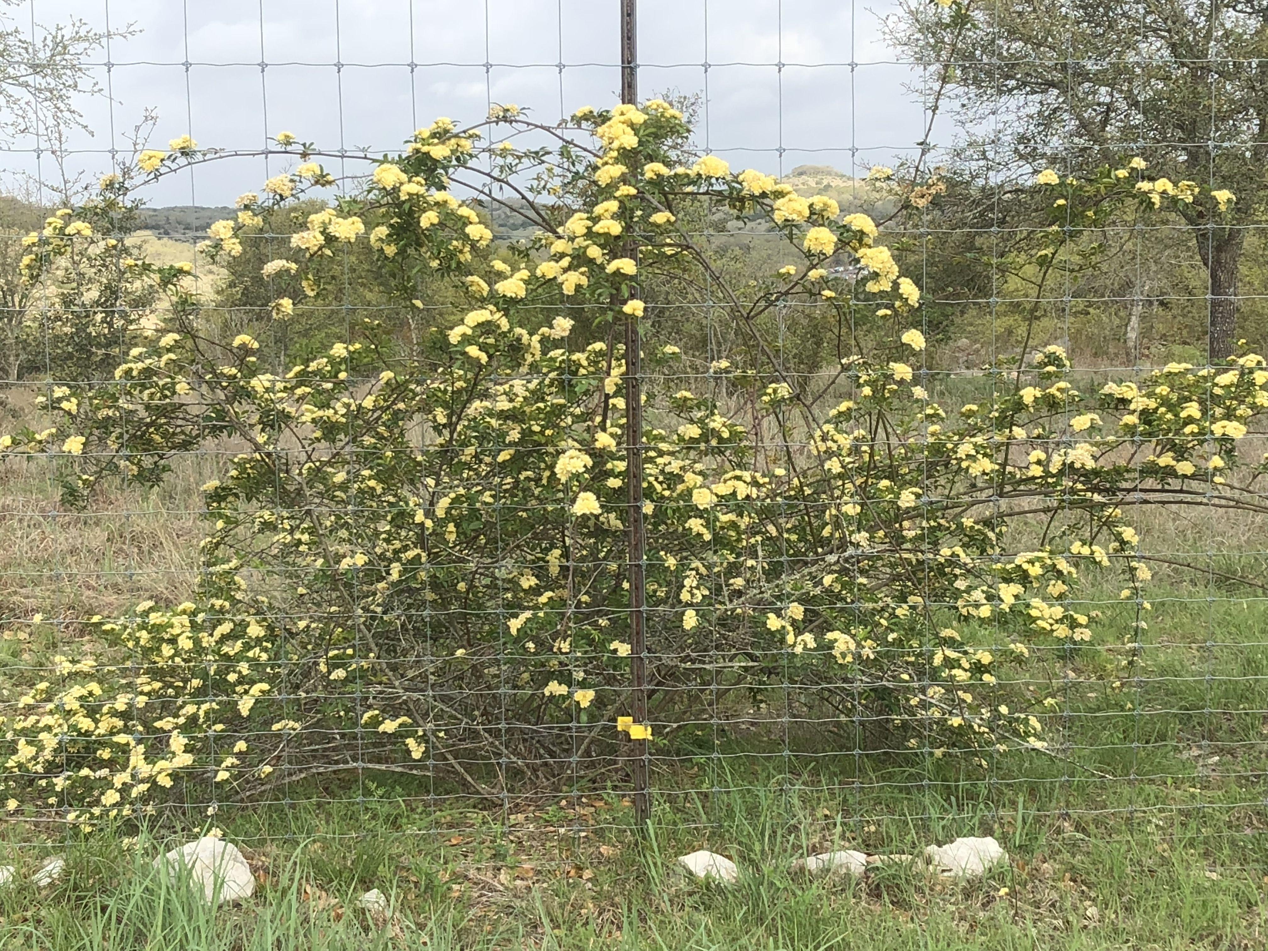 Texas Yellow Flower Bush Garden Pinterest Gardens