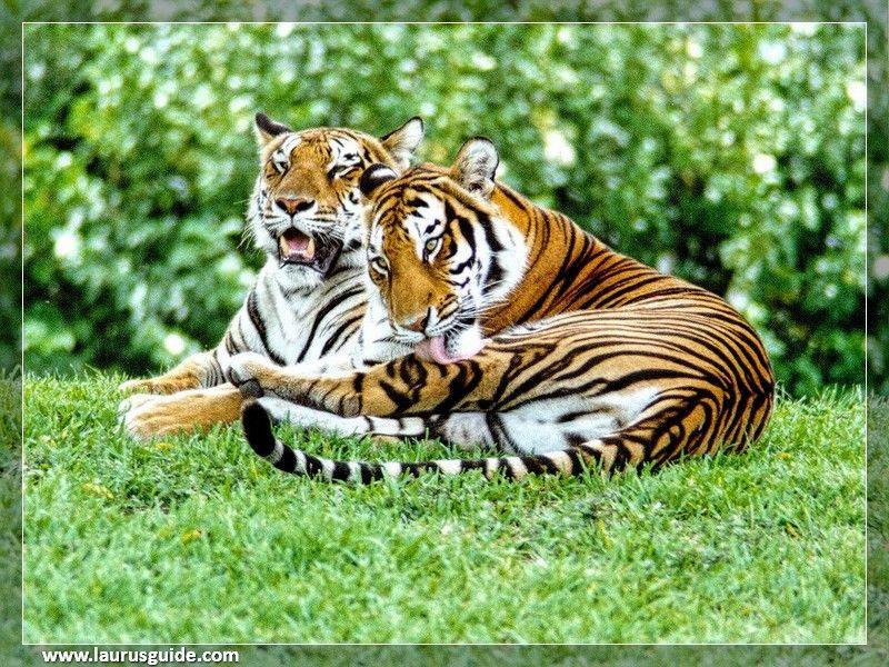Bhadra Wildlife Sanctuary also known as Bhadra Tiger