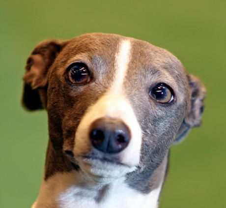 I Love Alll Dogums But For Those Who Are Looking For Non Shedding Dogs Here Is A Good Top Ten List Italian Greyhound Dog Top 10 Dog Breeds Italian Greyhound