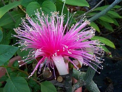 Pin On Caribbean Tropical Flowers Plants Fruits And Trees