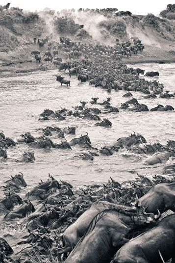From elephants trumpeting into the bush to thousands of wildebeest performing their epic crossing of the Mara River, these black and white shots are the result of one man's four-year love affair with Africa.