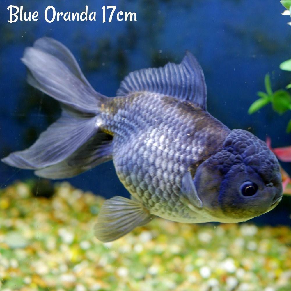Αποτέλεσμα εικόνας για blue oranda