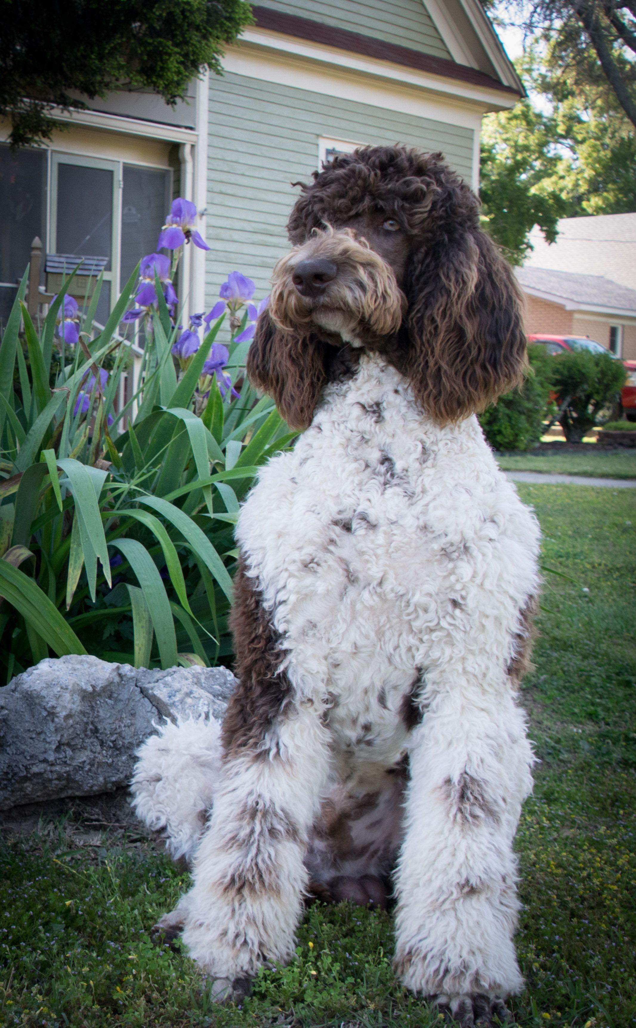 Mr Keester Poodle, Standard poodle, Goldendoodle
