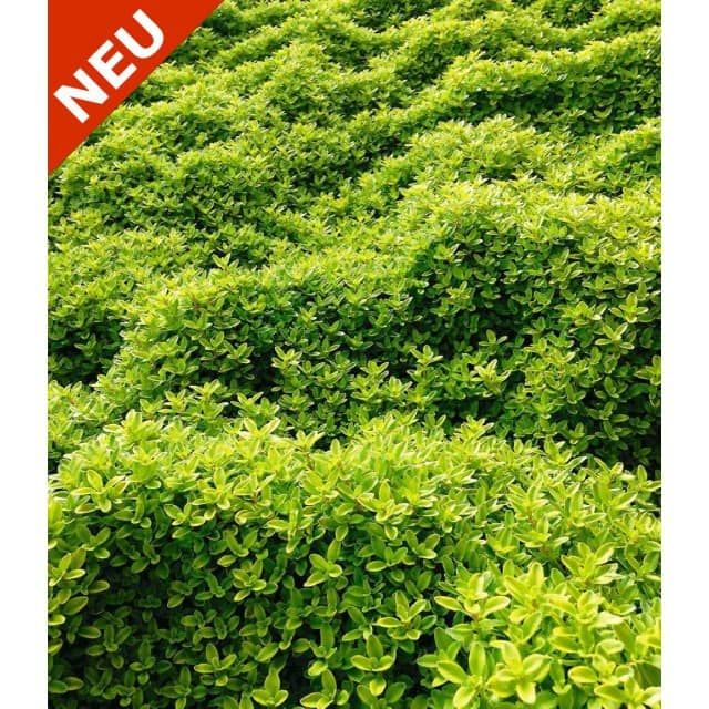 Marvelous Zitronenthymian Pflanzen BALDUR Garten GmbH