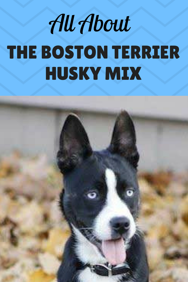 The Quirks And Difficulties Of A Boston Terrier Husky Mix Husky Mix Terrier Boston Terrier
