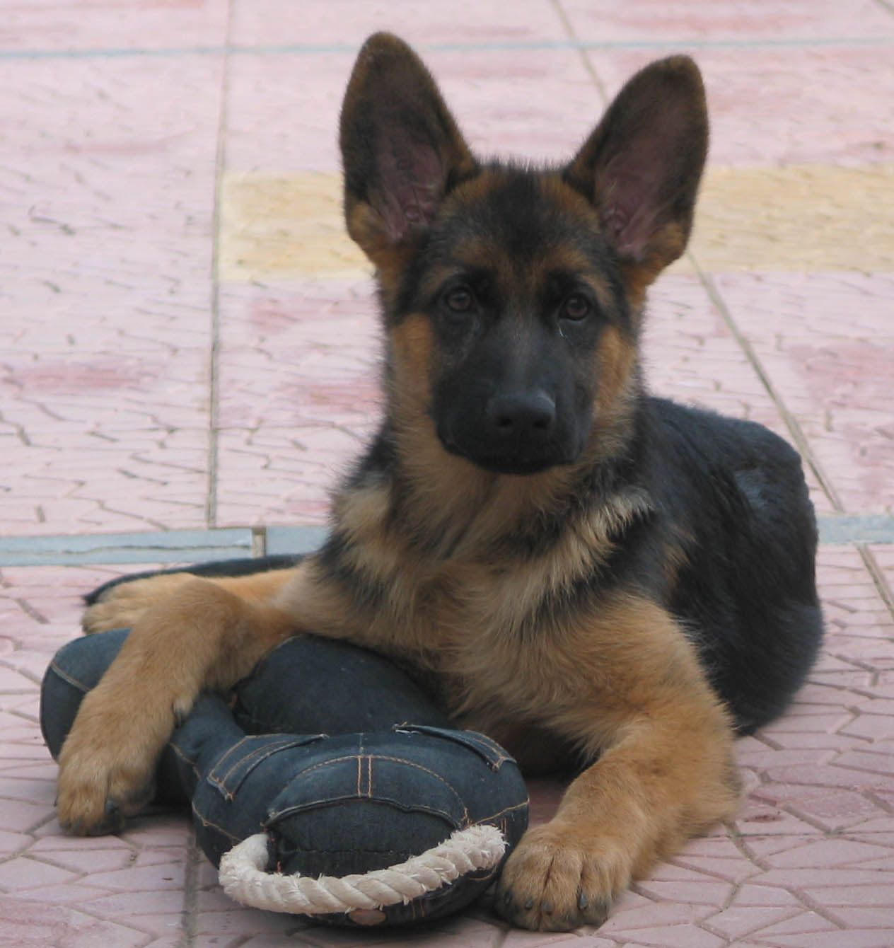 So Precious German Shepherds Are The Best Look At The Perfect
