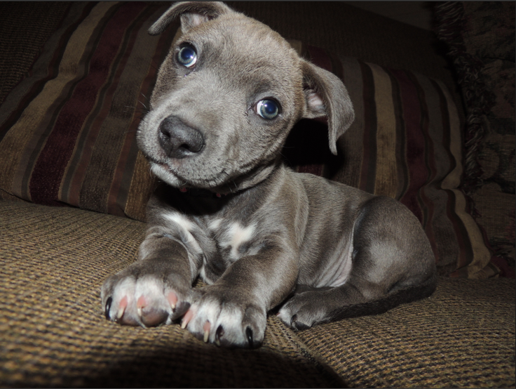 Cute Pitbull Chihuahua Mix