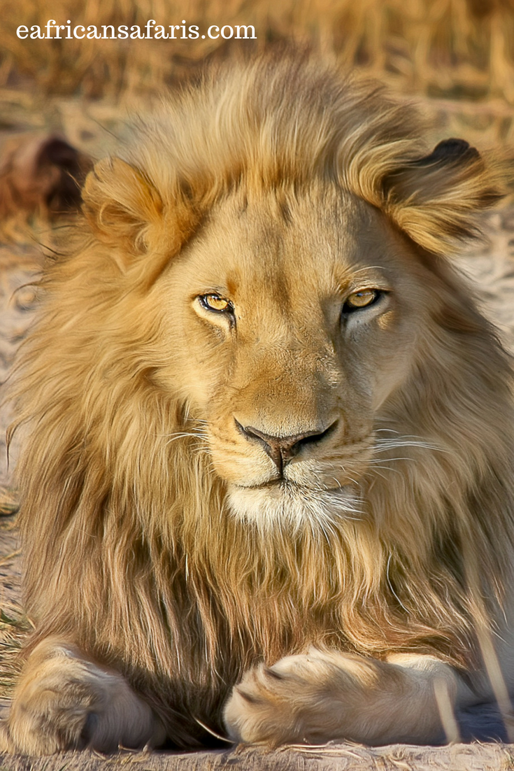 The Big 5 in Kenya Lion pictures, Majestic animals, Animals