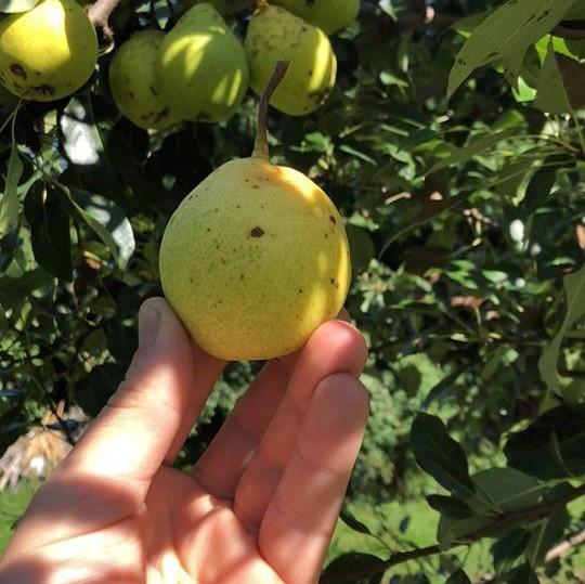 Nova Pear Tree Large Self Fertile Pear Of Outstanding Quality Hardy Fruit Tree Nursery Tree Nursery Fruit Tree Nursery Fruit Trees