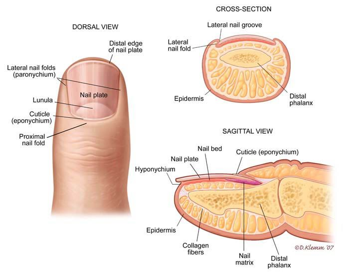 Finger Nail Anatomy Science And Earth Pinterest Nail Disorders