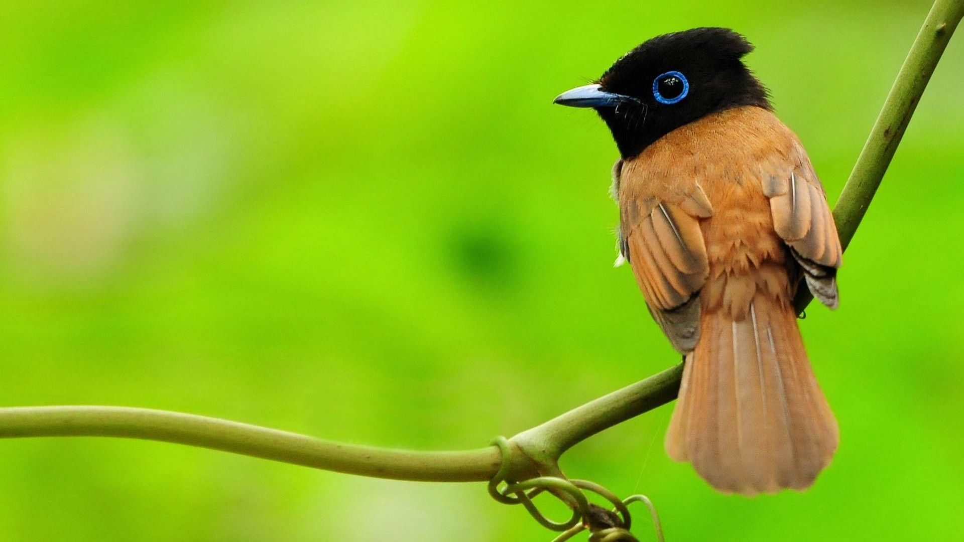 Wallpaper Bird Little Birds Wallpapers 1920x1080 Birds Hd