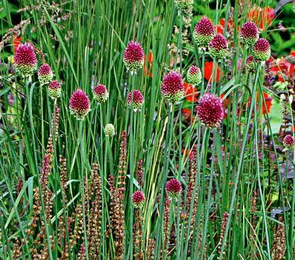 Allium Sphaerocephalon With Images White Flower Farm Allium Flowers Bulb Flowers