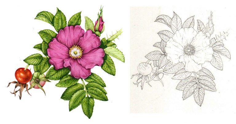Botanical illustrations for Nonnative invasive plants