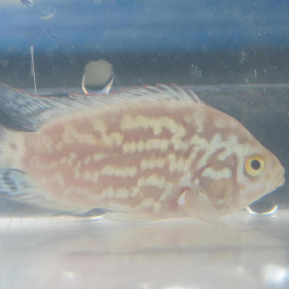 Pink Electric Blue Fish Pet Cichlids Aquarium Fish