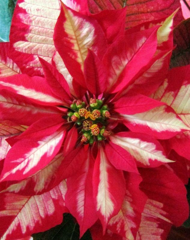 Winter Muse Christmas Flowers Poinsettia Amazing Flowers