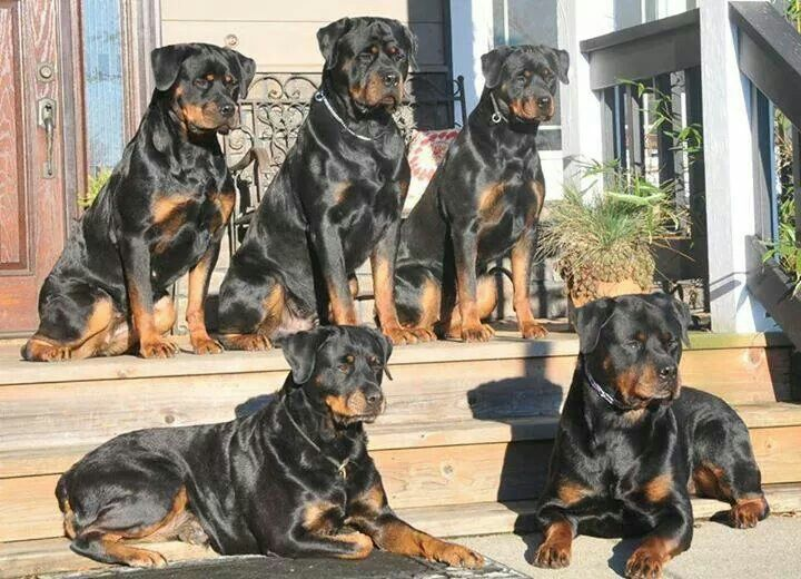 Rottweiler Loving Confident And Loyal Dogs Rottweiler Lovers
