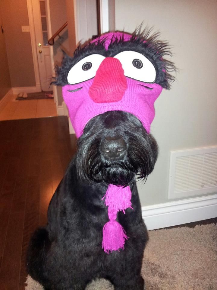 Ryker The Giant Schnoodle Loving His Muppet Hat Dogs Animals Schnauzer