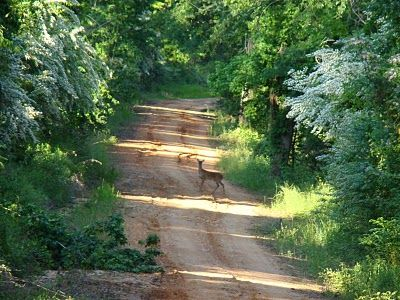 this is why I love our dirt roads.....I see deer, bobcats, wild turkeys, skunks, racoons n so much more!