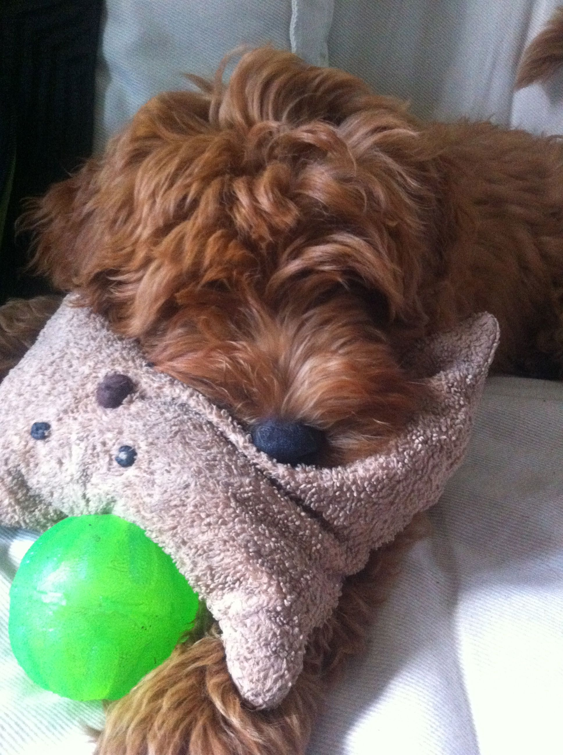 Me and my pillow goldendoodle pup