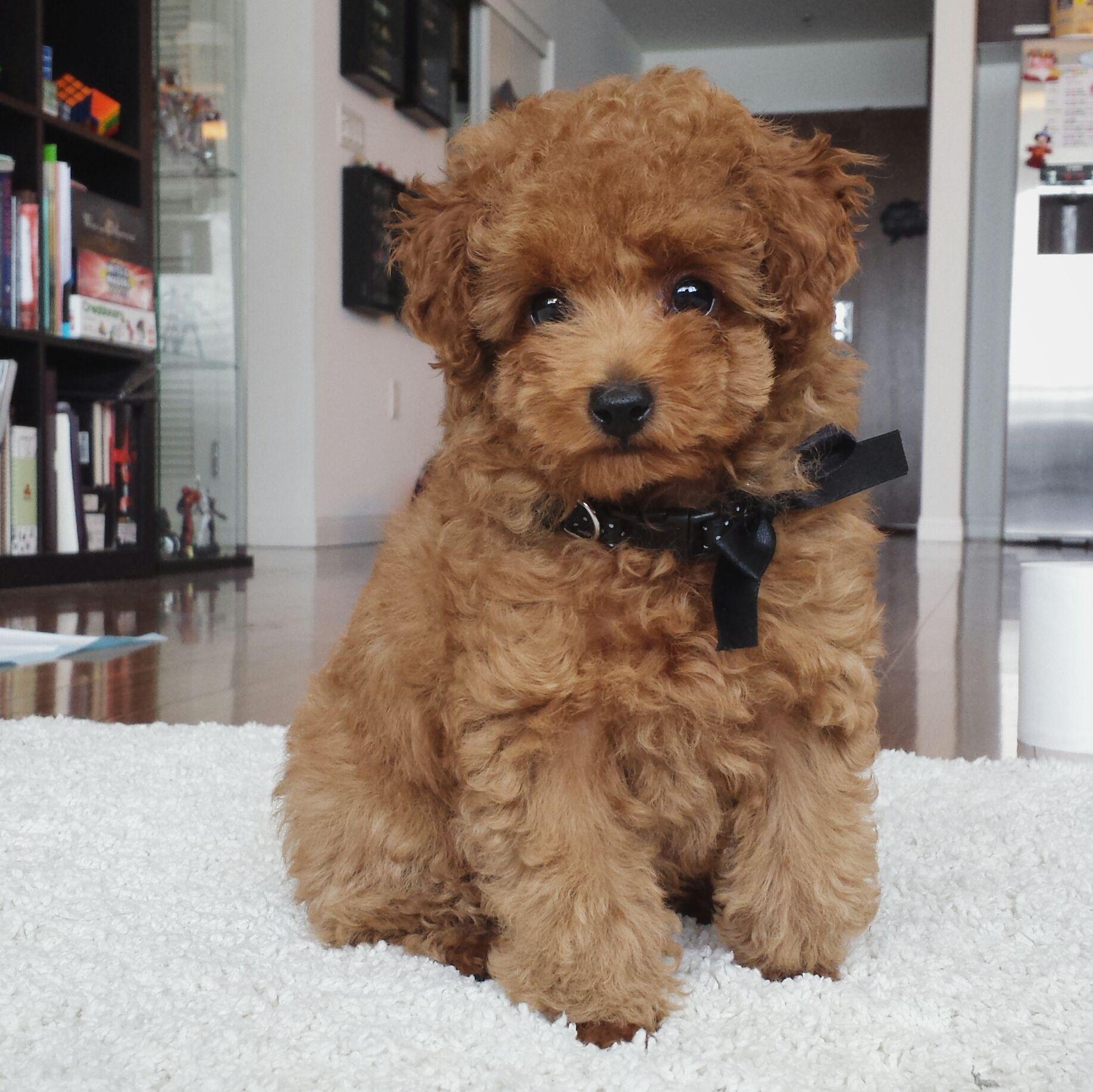 Akc show quality champion bloodline maltipoo puppy