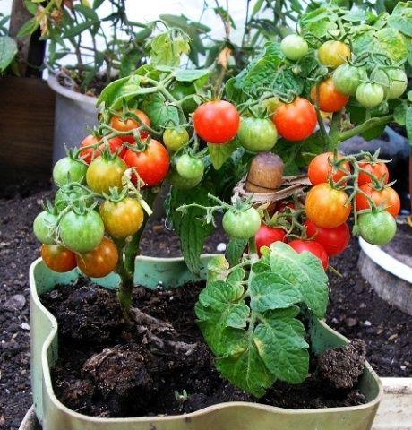 Томат Бонсай: отзывы, фото, урожайность   Выращивание ...