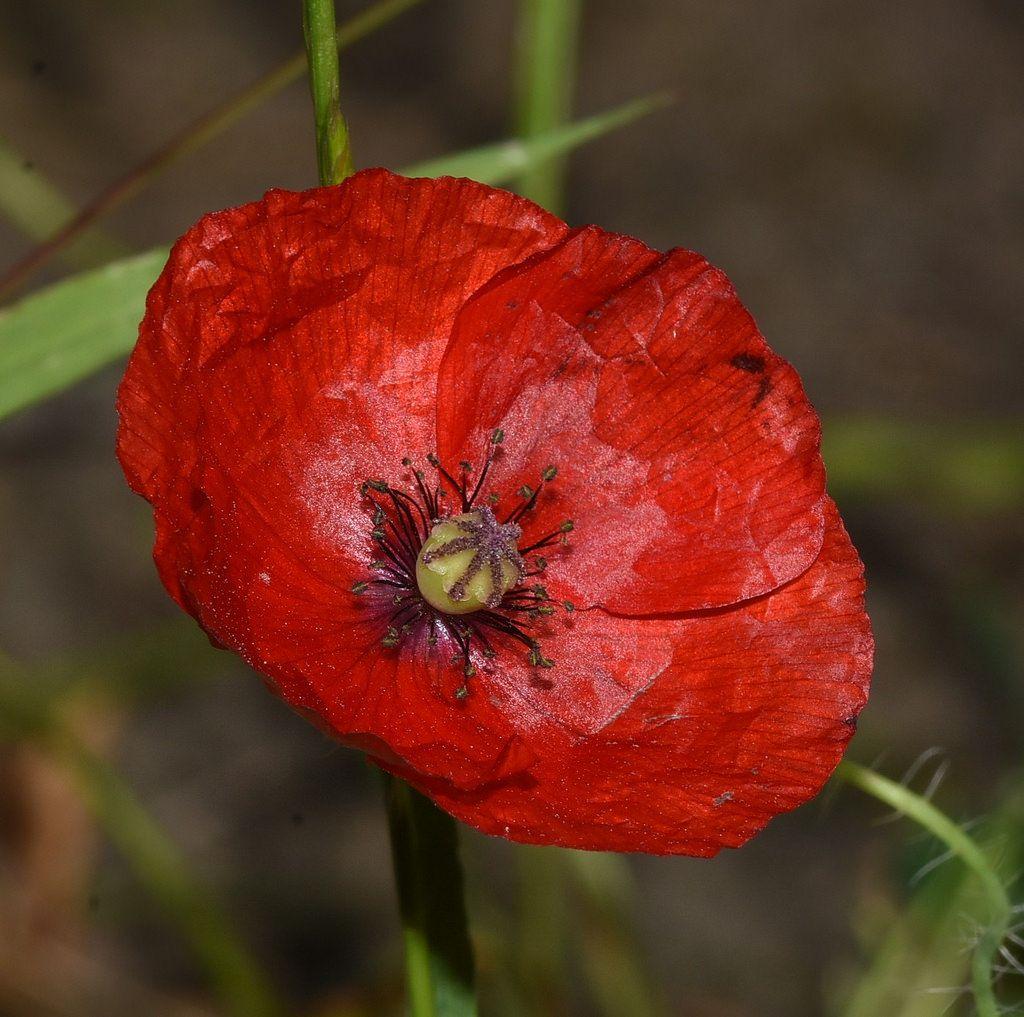 Small iceland poppy like flower in the bush iceland httpsflicpgbx4nd small iceland poppy like mightylinksfo