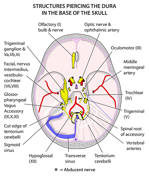 Instant Anatomy Head And Neck Nerves Cranial Leaving The Intact Dura Cranial Nerves Head And Neck Nerve