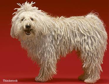 The Komondor Komondor, Alpha dog, Puppy kindergarten