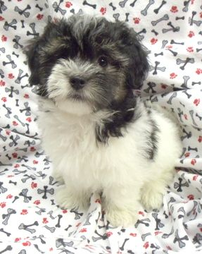 Havanese Puppy For Sale In Winston Salem Nc Adn 39831 On