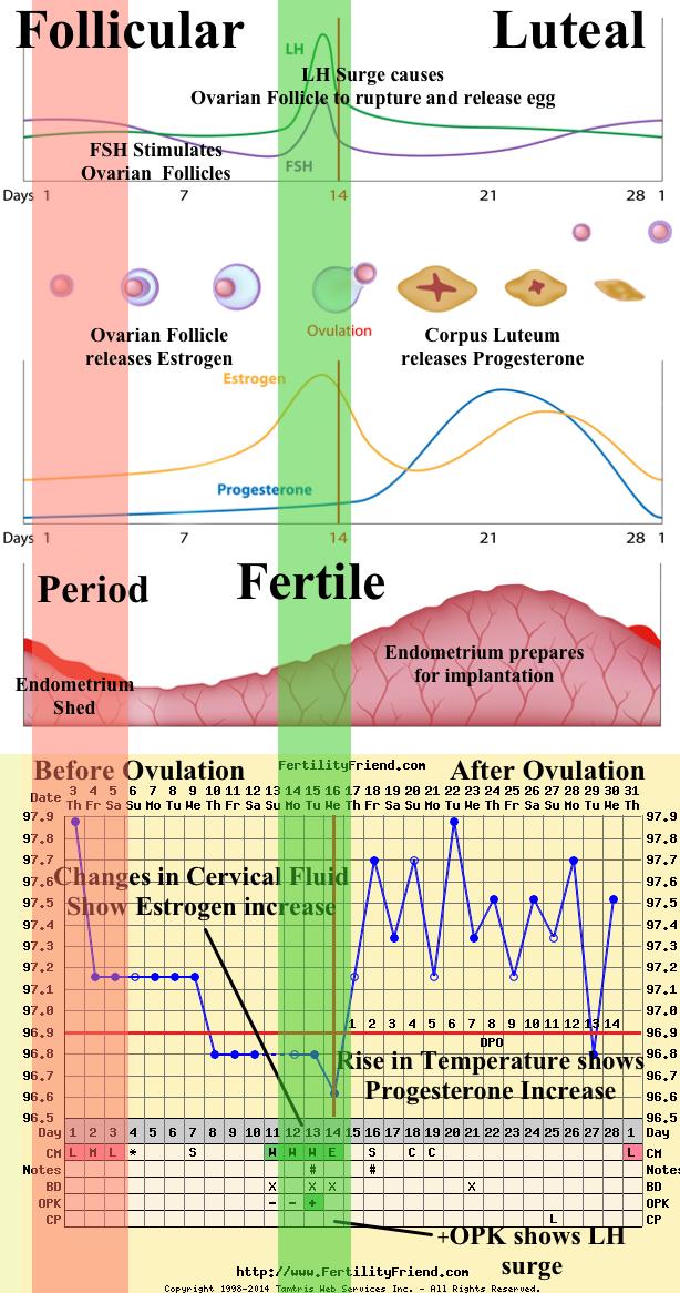 hormones chart | Health | Fertility chart, Fertility