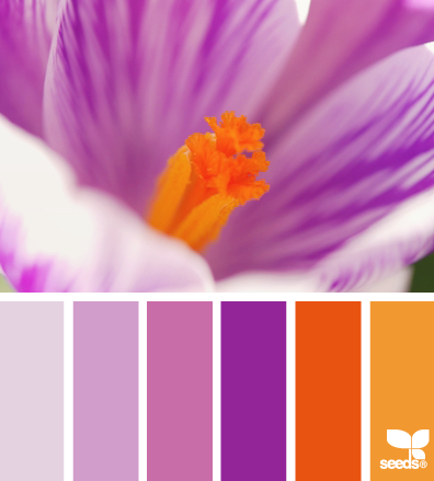 crocus color design seeds love the purple orange