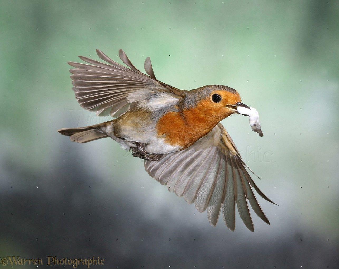 american robin bird flying - photo #26