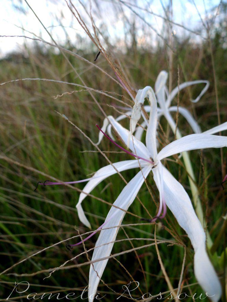 White spider lily flower lilies pinterest spider flower and white spider lily flower izmirmasajfo