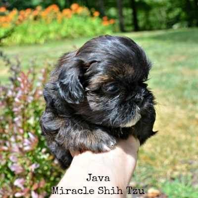 Shih Tzu Puppies For Sale In N E Ohio Shih Tzu Puppy Puppies For Sale Shih Tzu