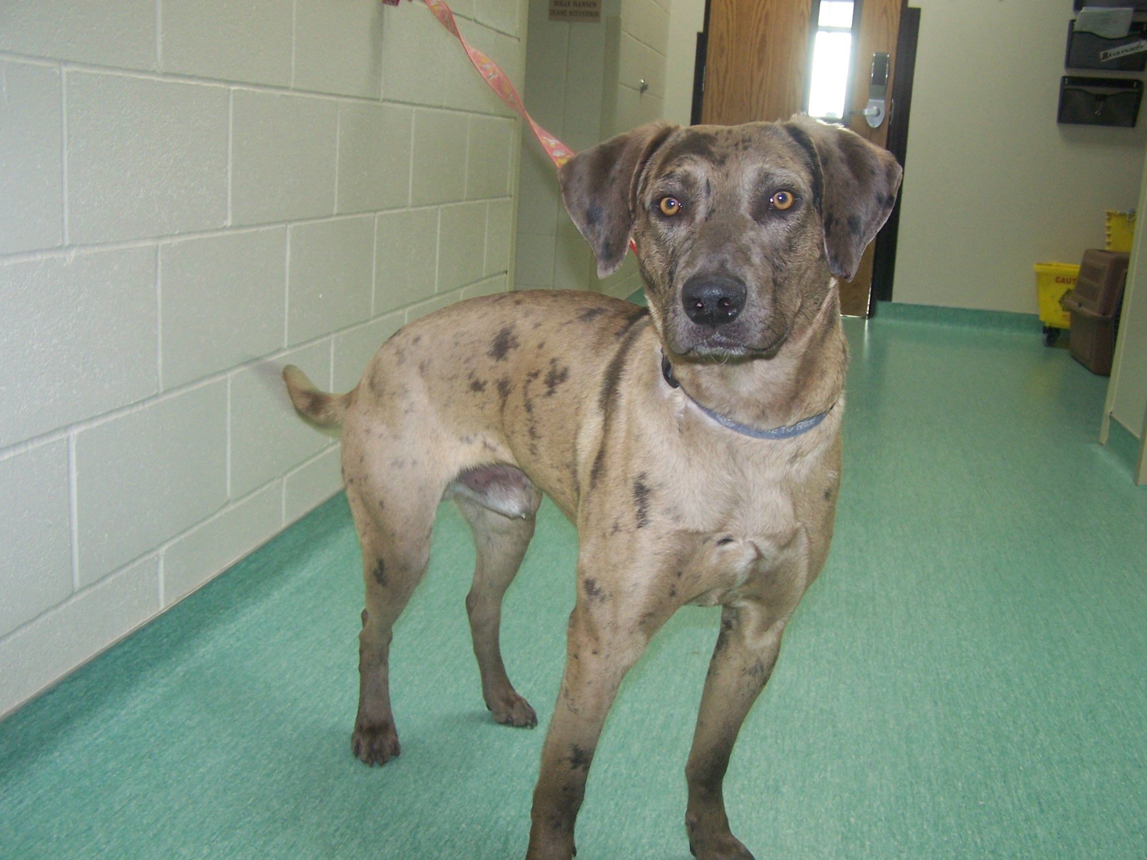 Coppenhagen Is An 8 Month Old Catahoula Mix He Has Something