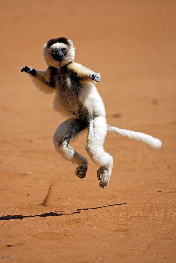 Verreaux's sifaka (Dancing Lemur) are found throught Madagascar ...