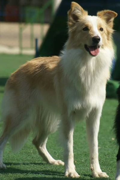Beautiful Bc Border Collies Border Collie Pictures Collie