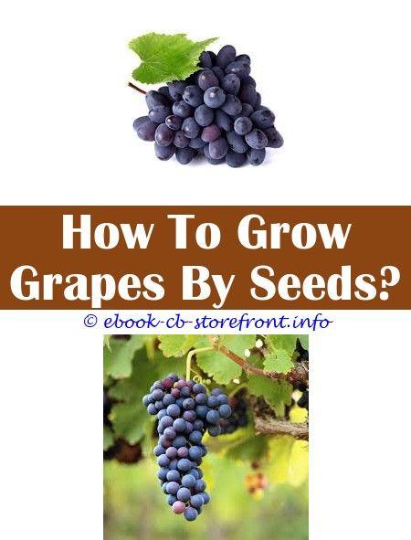 11 Tremendous How To Grow Concord Grape Vines From Cuttings Grape Growing Trellis Grape Vine Plant Grape Plant