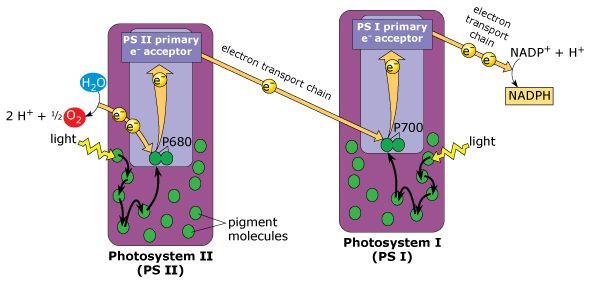 Not Signed In Masteringbiology Pearson Light Reaction Photosynthesis Electrons