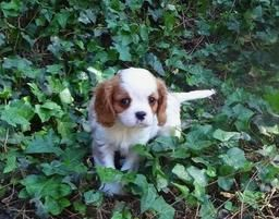 Cavalier King Charles Spaniel Puppy Cavalier Puppy King Charles